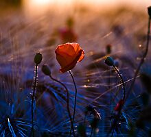 Poppy love by Ulla Jensen
