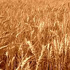 Sunkissed Wheat in Sepia by Sheryl Gerhard