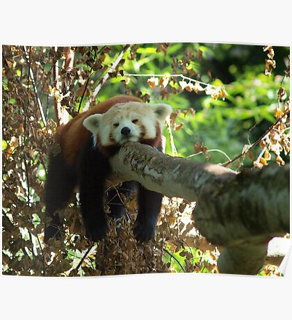 Sleeping Red panda Poster