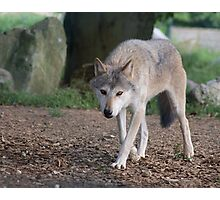 Mean Looking Timber Wolf Photographic Print