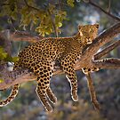 Leopard in tree, Moremi Game Reserve, Botswana by Neville Jones