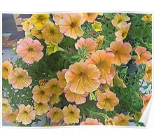 Pink and Yellow petunia Flowers Poster