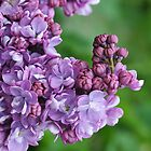 Blooming Lilac by John  Kowalski