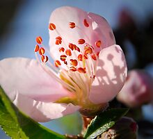 Peach Blossom by triciamary