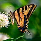 Yellow Swallowtail Butterfly by Agro Films