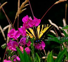 You Can Run But You Can't Hide ~ Western Tiger Swallowtail Butterfly by Charles & Patricia   Harkins ~ Picture Oregon