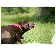 Chocolate Lab waits for Frisbee Poster