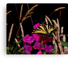 The Big Coverup  ~ Western Tiger Swallowtail Butterfly ~ Canvas Print