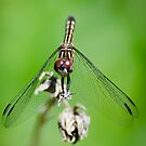 Female Blue Dasher Dragonfly by Steve Borichevsky