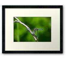 Male Blue Dasher Dragonfly Framed Print