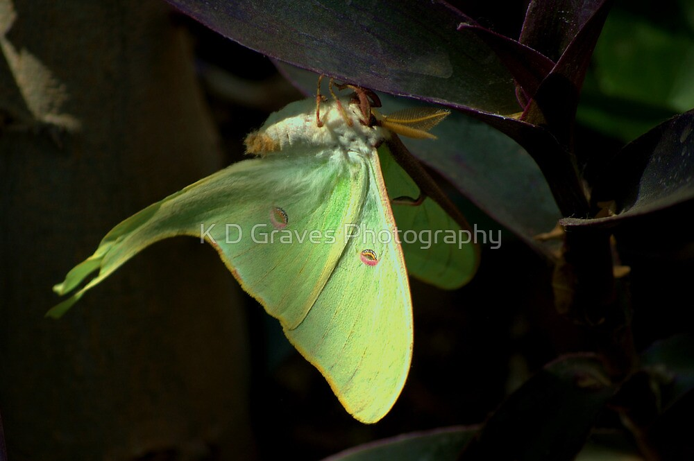 """ The Lunar Moth "" by K D Graves Photography"