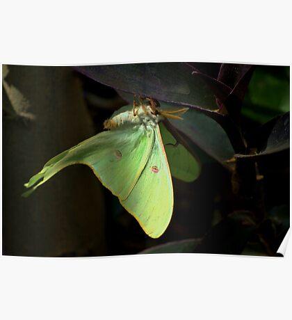""" The Lunar Moth "" Poster"