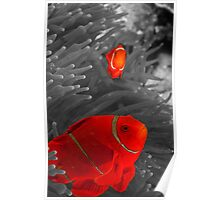 Spinecheek Anemonefish - selective colourisation Poster