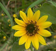 Sunflower! by Navigator