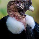 Andean Condor Portrait by alan shapiro