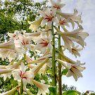 White lily by Debu55y