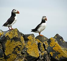 Puffins on stones by Matthias Keysermann