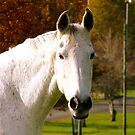 I'll Pose For Some Carrots!! - White Horse - NZ by AndreaEL