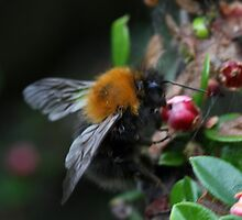 Wood Bumble Bee by webbo