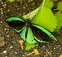 Green butterfly by Thad Zajdowicz