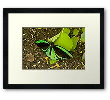Green butterfly Framed Print