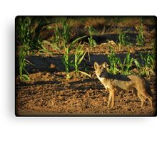 Sunrise Coyote Canvas Print