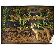 Sunrise Coyote Poster