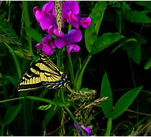 Lets Just Hang-Out ~ Butterflies ~ Photographic Print