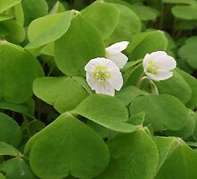 UK wild flowers-wood sorrel by DAL LIPTROT