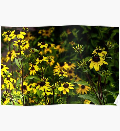 The Prolific Black-Eyed Susan Poster