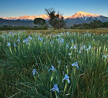 Eastern Sierra Iris Sunrise by Nolan Nitschke