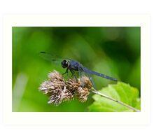 Slaty Skimmer Dragonfly Art Print