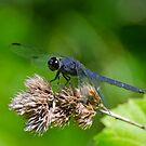 Slaty Skimmer Dragonfly by Steve Borichevsky