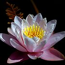 Water Lily by rrushton