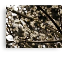 Willow Catkin Canvas Print
