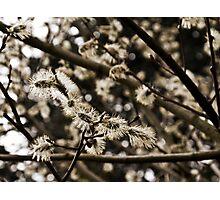 Willow Catkin Photographic Print