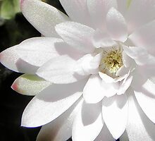 Flower of a very old Gymnocalycium Cactus Sparkles by Linda Gleisser
