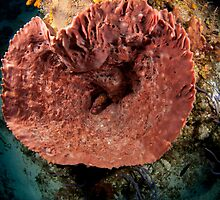 Giant Barrel Sponge by KOKOPEDAL