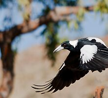 Western Magpie by David Woolcock