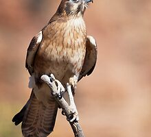 Brown Falcon, Central Australia by David Woolcock