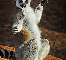 Ring-tailed Lemur - Taronga Western Plains Zoo Dubbo  by Darren Stones