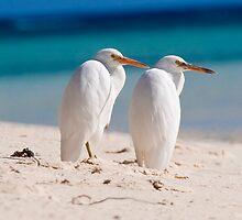 heron Pair - Heron Island - Australia by Anthony Wilson