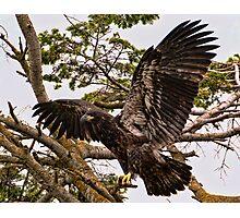 Baby Eagle Flying School Photographic Print