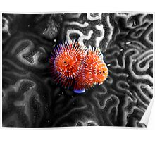 Christmas Tree Worms on Brain Coral Poster