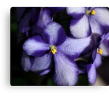 Violet & White Bi-colour African Violets  Canvas Print
