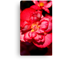 Red & White Variagated Begonia Flower  Canvas Print