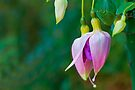 Fuchsia Buds by Ray Clarke