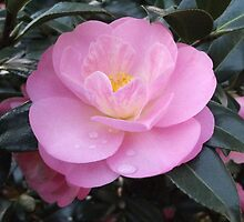 Camellia Nicky Crisp - tear drops from the heart by Melissa Stevenson