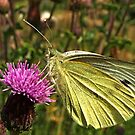 Large White by jesika