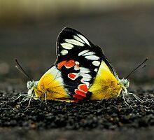Butterflies mate on Sunrise Bridge by harper white
